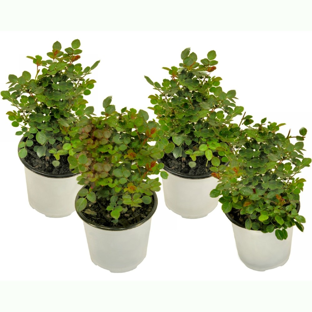 Image of Knock Out Rose 'Double Double' Collection 2N1 - 4pc U.S.D.A. Hardiness Zones 5 - 9 Cottage Hill 4, Green/Red/Pink