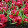 Crocus Small Talk Red - Set of 12 Bulbs - Van Zyverden - image 3 of 4