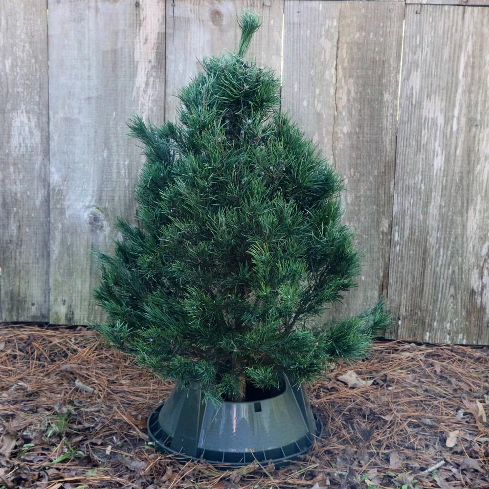 Image of Live Scotch Pine Fresh Cut Table Top Christmas Tree - Cottage Hill Nursery
