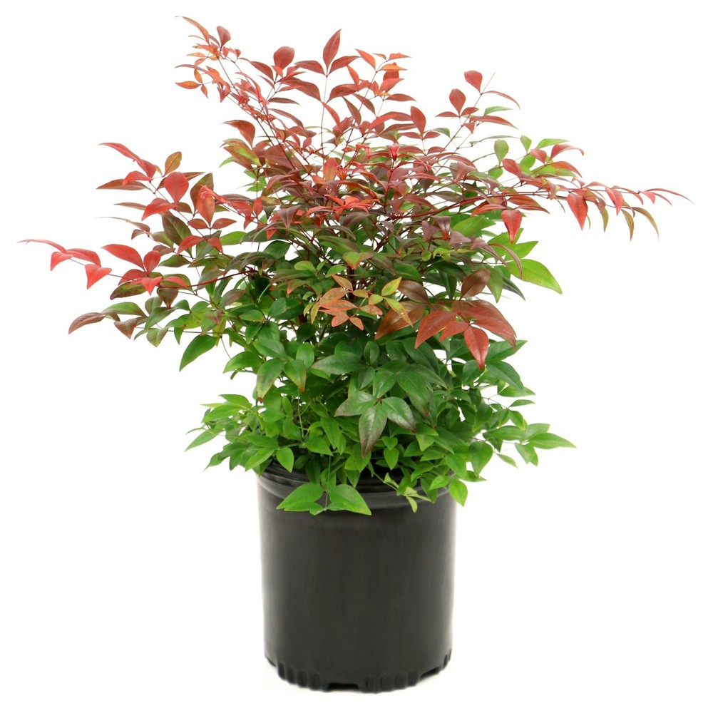 Image of Nandina 'Gulf Stream' 1pc - National Plant Network - U.S.D.A. Hardiness Zones 6 - 9