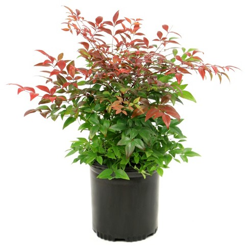 Nandina 'Gulf Stream' 1pc U.S.D.A. Hardiness Zones 6-9 Cottage Hill - image 1 of 3