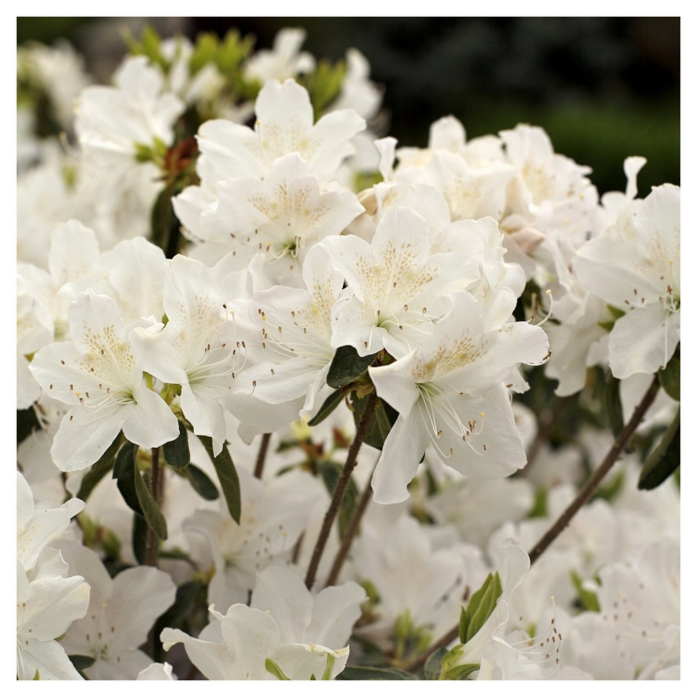 Azalea 'Snow' 1pc - Cottage Hill U.S.D.A Hardiness Zone 6-9