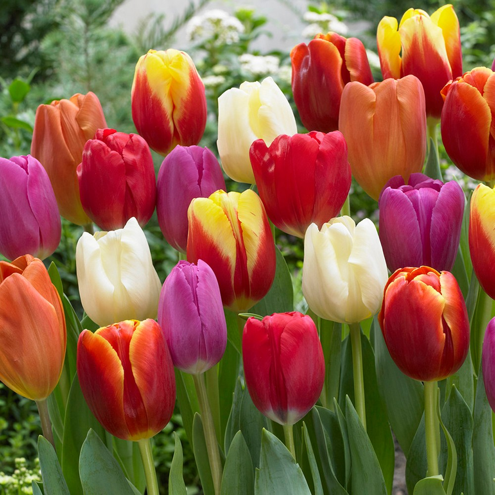 Tulips Triumph Mixture Set of 50 Bulbs - Van Zyverden