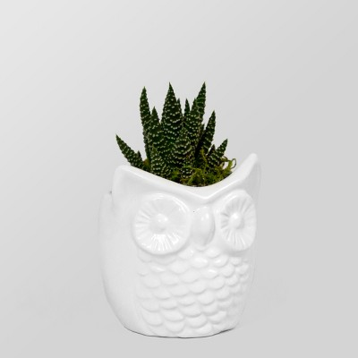 Live Succulent in Owl Pot