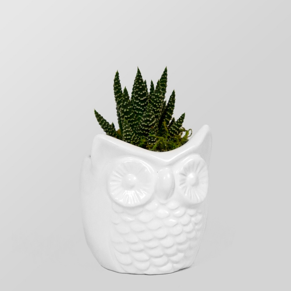 Image of Live Succulent in Owl Pot