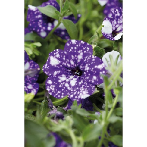 3pc NightSky Petunia Plant with Purple/White Blooms - National Plant Network - image 1 of 3