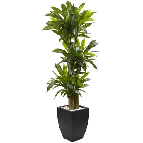 5.5ft Artificial Corn Stalk Dracaena with Black Wash Planter - Nearly Natural - image 1 of 3