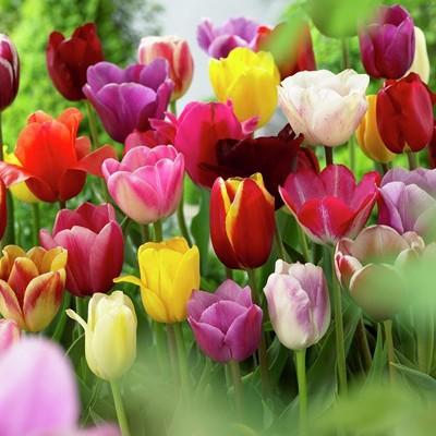 Tulips Non-Stop Mixed Colors Blend - Set of 25 Bulbs - Van Zyverden