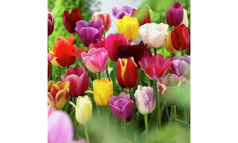 Tulips Non-Stop Mixed Colors Blend - Set of 25 Bulbs - Va...