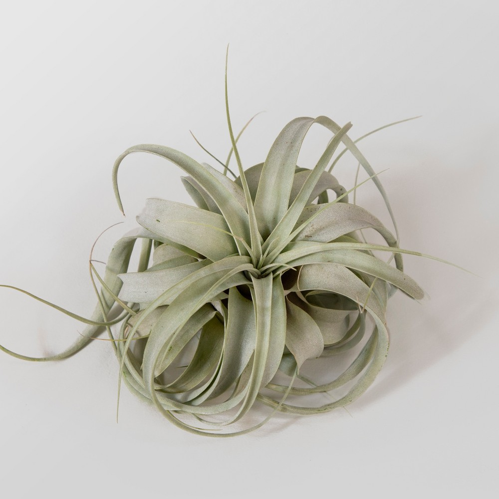 Image of Xerographica Live Air Plant