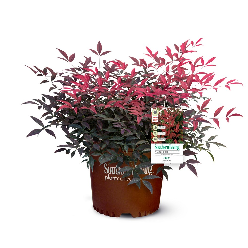 Image of Nandina Southern Living 'Flirt' 3gal U.S.D.A. Hardiness Zones 6-10 - 1pc - Cottage Hill