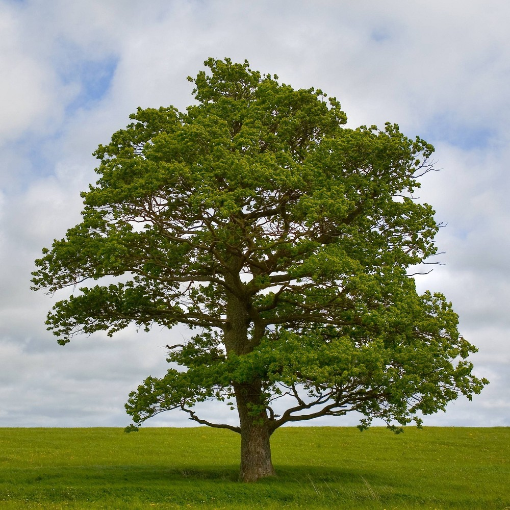 Image of 2.25gal Swamp White Oak Tree - National Plant Network
