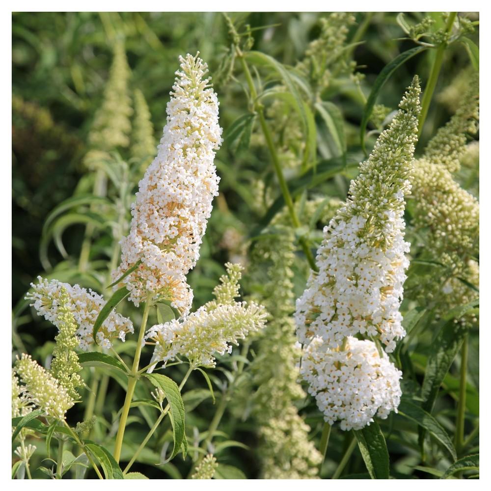 Image of Buddelia 'White Profusion' 1pc - Cottage Hill U.S.D.A Hardiness Zone 5-9