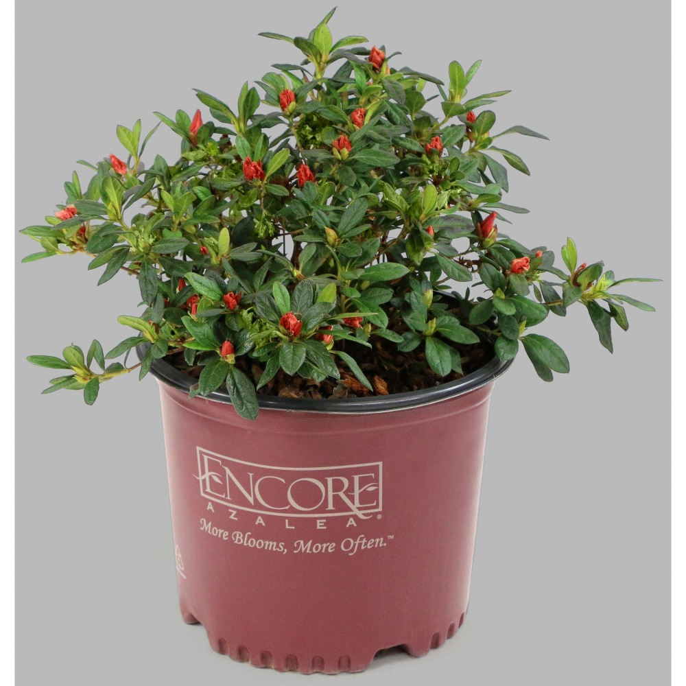 Image of Encore 1pc Azalea Autumn Debutante - Cottage Hill
