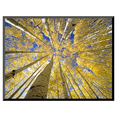 Art.com Quaking Aspen Grove in Fall, Colorado by John Eastcott & Yva Momatiuk - Mounted Photo