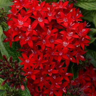 Burpee 3pc Lucky Star Red Pentas - National Plant Network