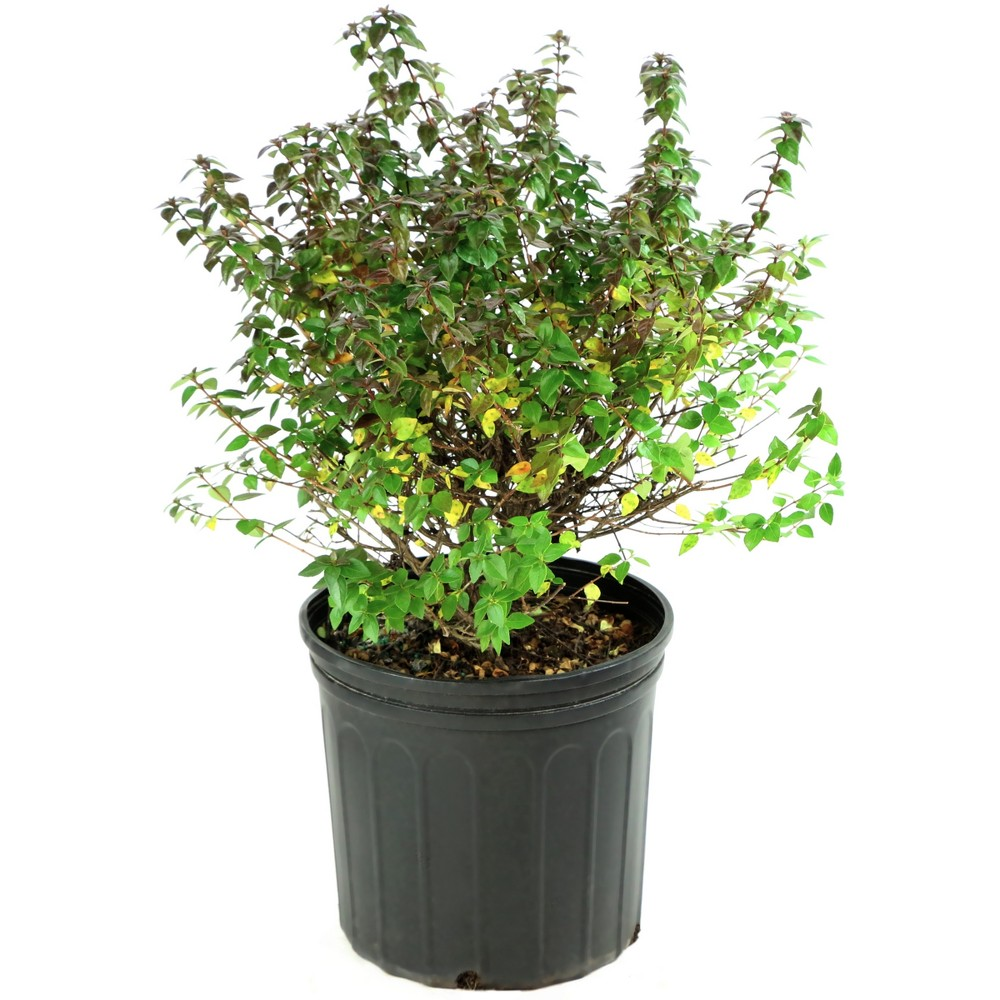 Image of Abelia 'Rose Creek' 1pc U.S.D.A. Hardiness Zones 6-9 Cottage Hill 2.25gal, Size: 2.25 Gallons