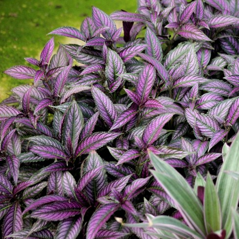4pc Persian Shield Purple - National Plant Network - image 1 of 3