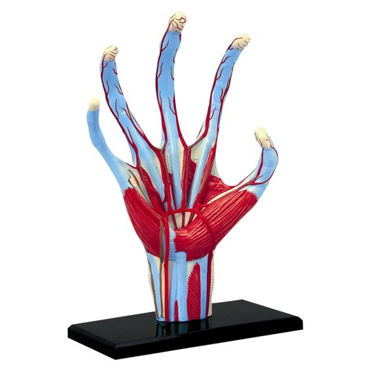 4D Master Human Hand Anatomy Model 28pc image number null