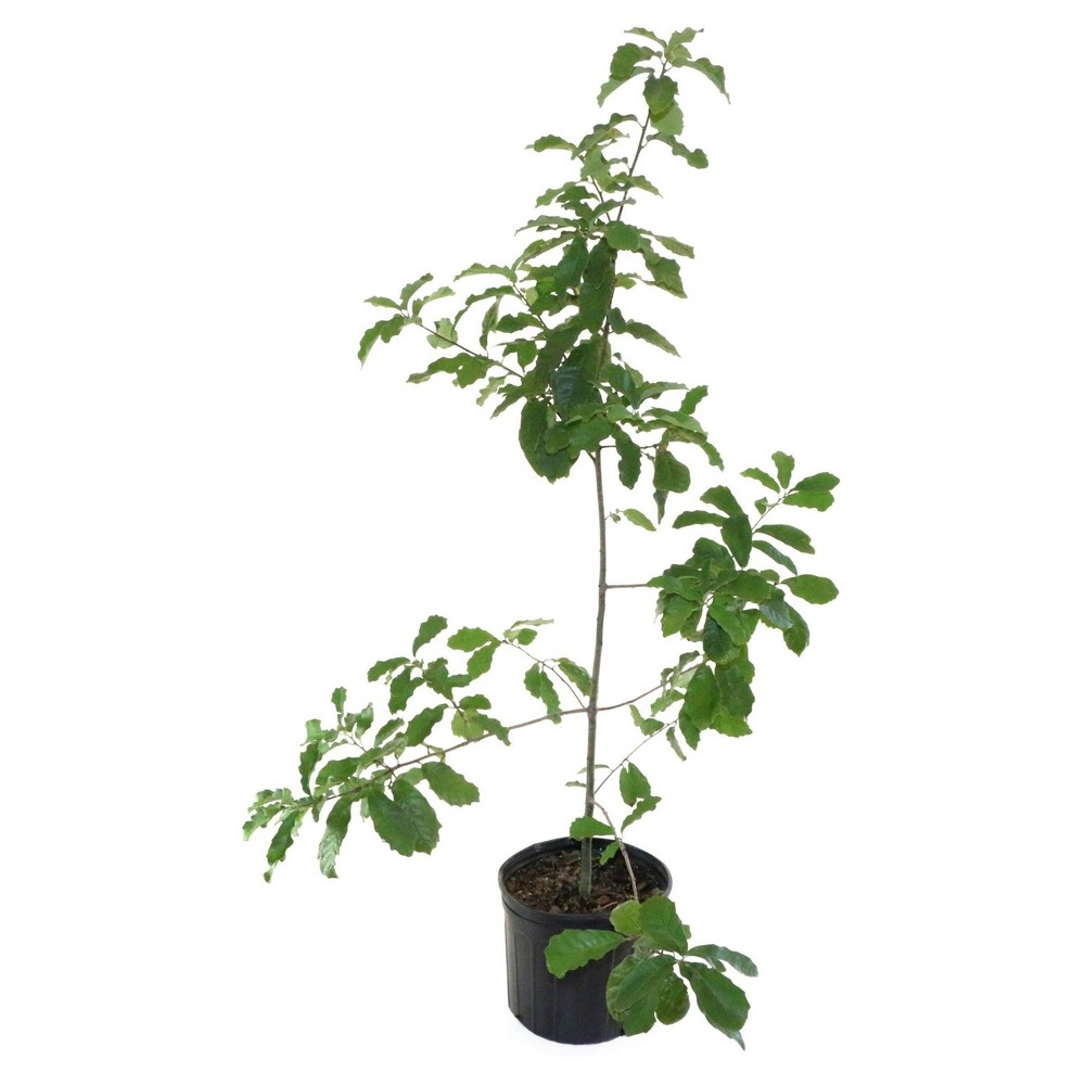 Image of 2.25gal Mexican White Oak Tree - National Plant Network