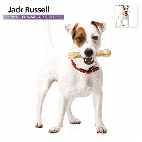 Jack Russell Terrier 2017 16 Month Calendar - image 1 of 3