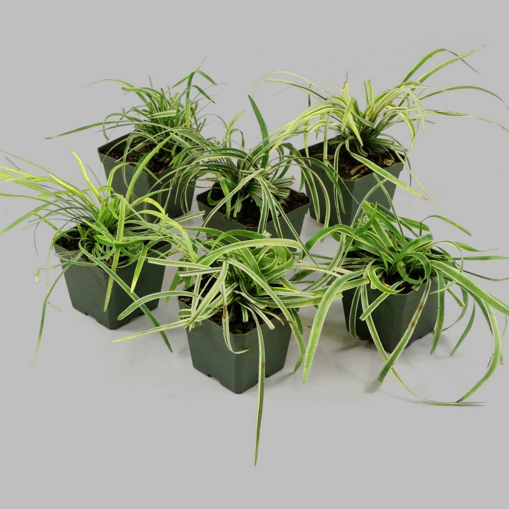 Image of 6pc Variegated Liriope - Cottage Hill