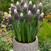 18ct Hyacinths Grape Ice Bulbs - Van Zyverden - image 2 of 4
