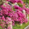 Azalea 'Pride of Mobile' 2.5qt U.S.D.A. Hardiness Zones 7-10 - 1pc - National Plant Network - image 2 of 3