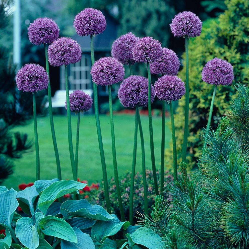 Image of Allium Giant Gladiator Set of 3 Bulbs - Purple - Van Zyverden