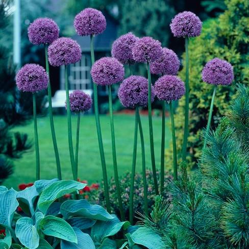 Allium Giant Gladiator Set Of 3 Bulbs Purple Van Zyverden Target