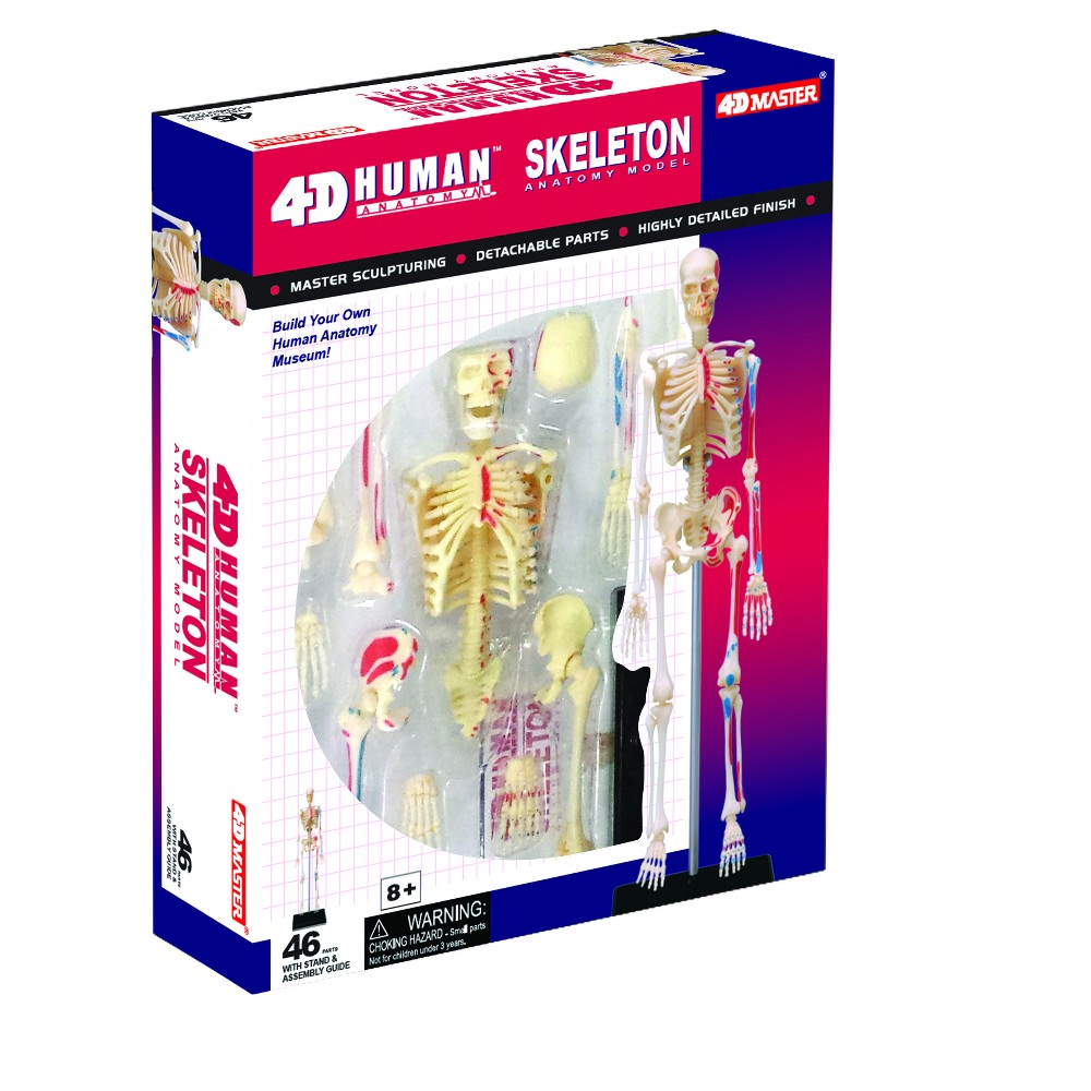 John Hansen 4D Human Skeleton Anatomy Model