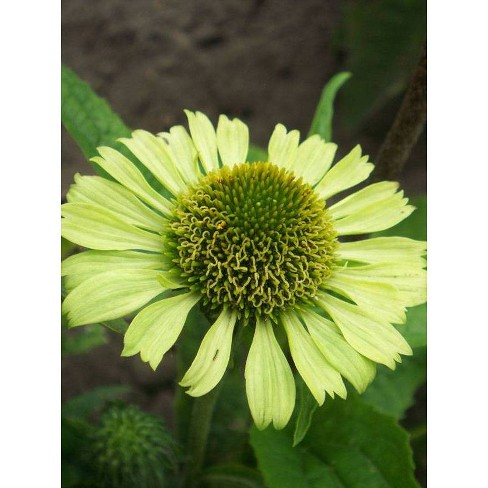 3pc Echinacea Green Jewel - National Plant Network - image 1 of 3