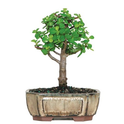 Small Dwarf Jade Indoor Live Houseplant - Brussel's Bonsai