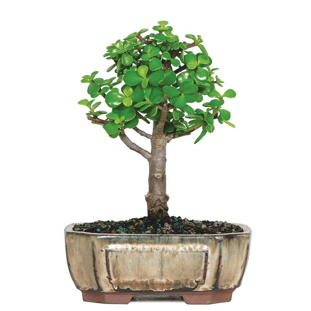 Image of Small Dwarf Jade Indoor Live Houseplant - Brussel's Bonsai