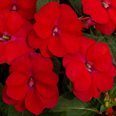 3pc Compact Fire Red Sunpatiens - National Plant Network