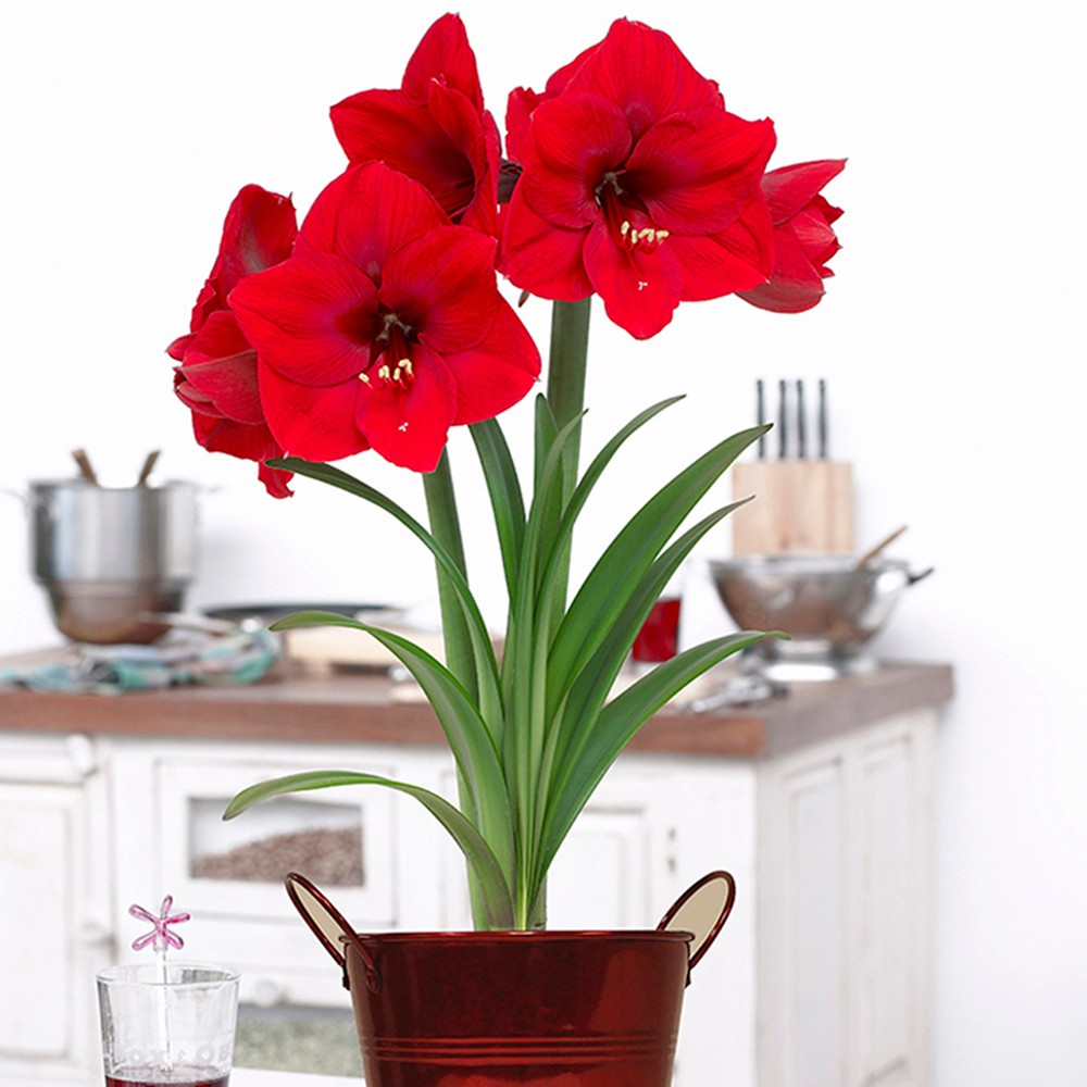Amaryllis Kit Lion With Artisan Decorative Planter - Red - Van Zyverden