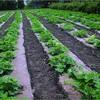 DeWitt NAT3300 3 x 300 Ft All Natural Organic Biodegradable Paper Mulch Garden Weed Control Barrier - image 4 of 4