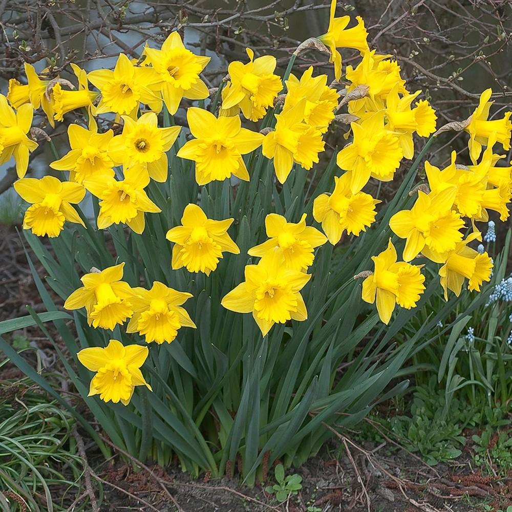 Daffodils Dutch Master Set of 25 Bulbs - Yellow - Van Zyverden