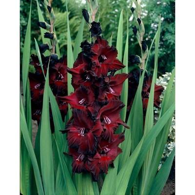 Van Zyverden Set of 12 Gladiolus Large Flowering Black Beauty Bulbs