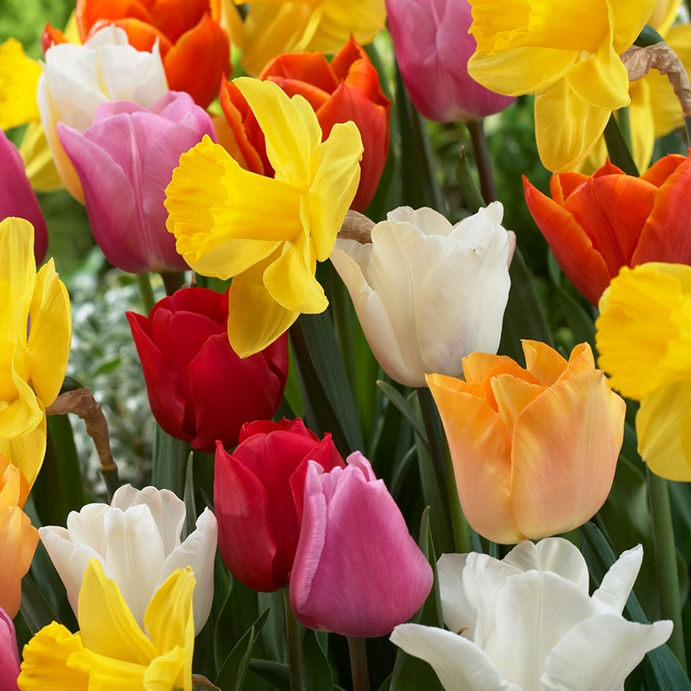 Tulips & Narcissus Pot Luck Mixture Set of 15 Bulbs - Van Zyverden