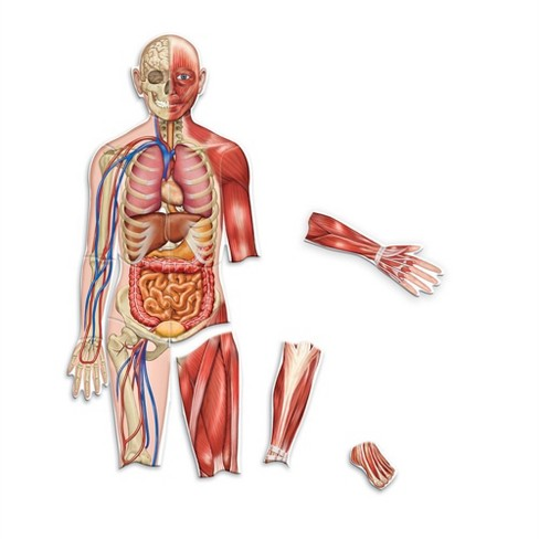 Learning Resources Double-Sided Magnetic Human Body - image 1 of 4
