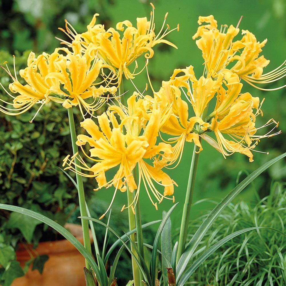 Lycoris Aurea Set of 6 Bulbs - Yellow - Van Zyverden