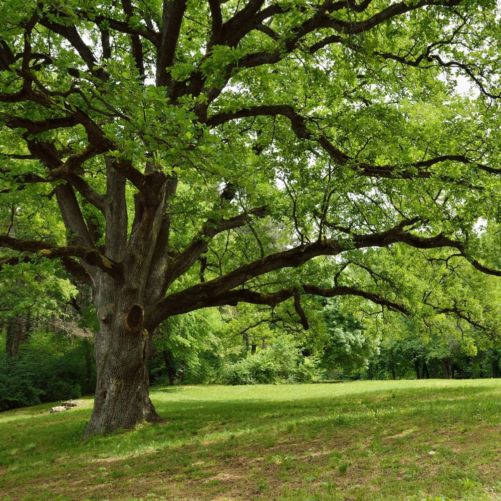 Image of 2.25gal Live Oak Tree - National Plant Network