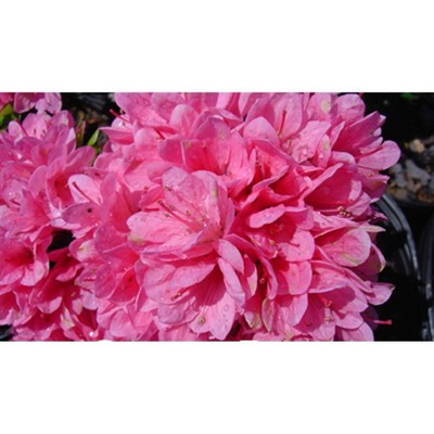 2.5qt Coral Bell Azalea Plant with Pink Blooms - National Plant Network