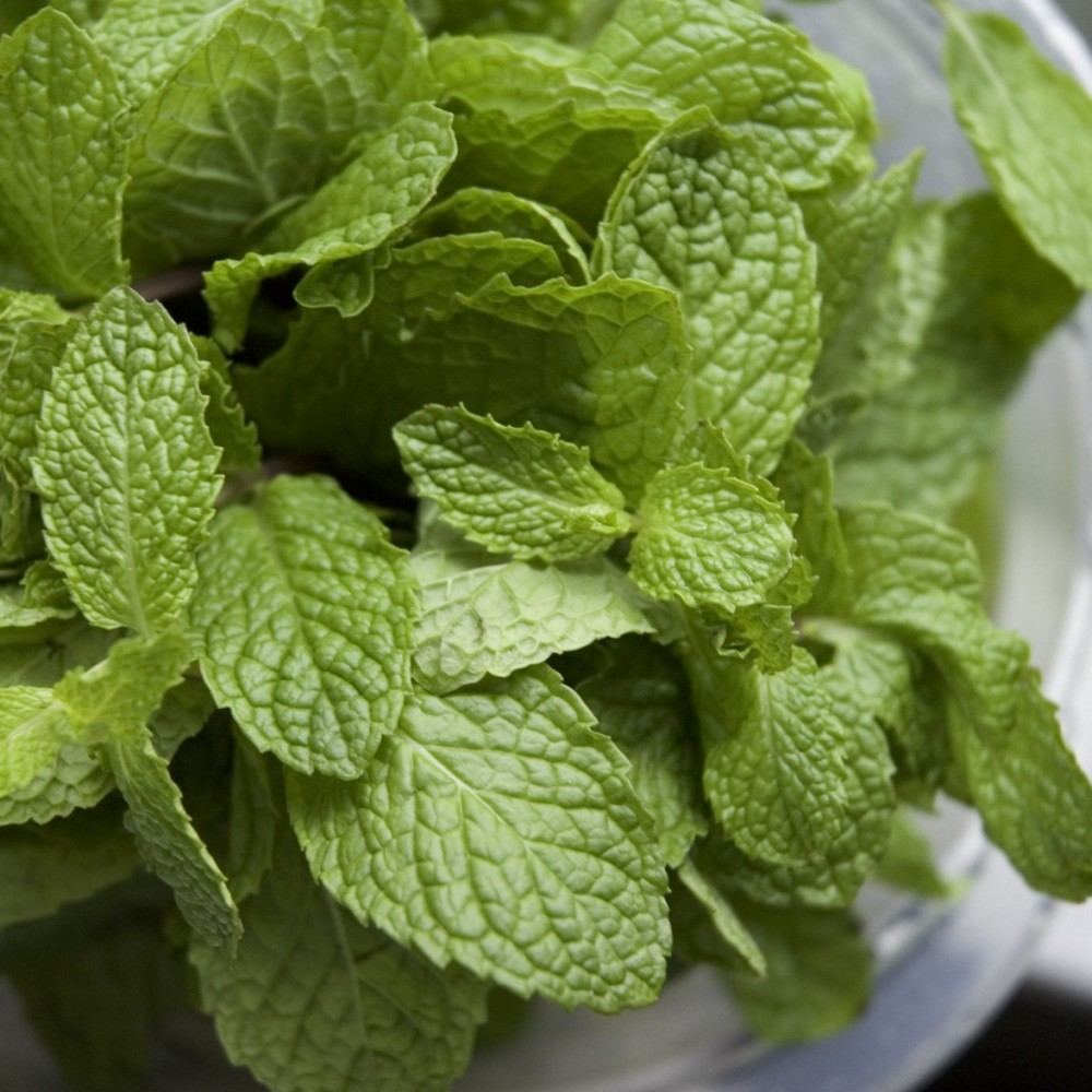 "Image of ""Burpee Herb 'Chocolate Mint' 1pc Seasonal Grown In All U.S.D.A. Hardiness Zones Cottage Hill 4"""""""