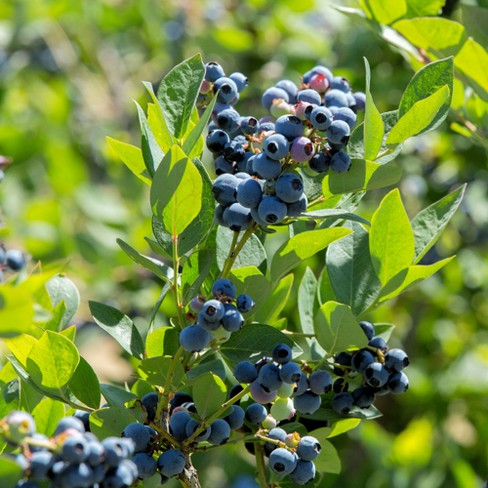 Blueberry ' Sunshine Blue' 1 Piece Cottage Hill U S D A  Hardiness Zones  6-10 Cottage Hill