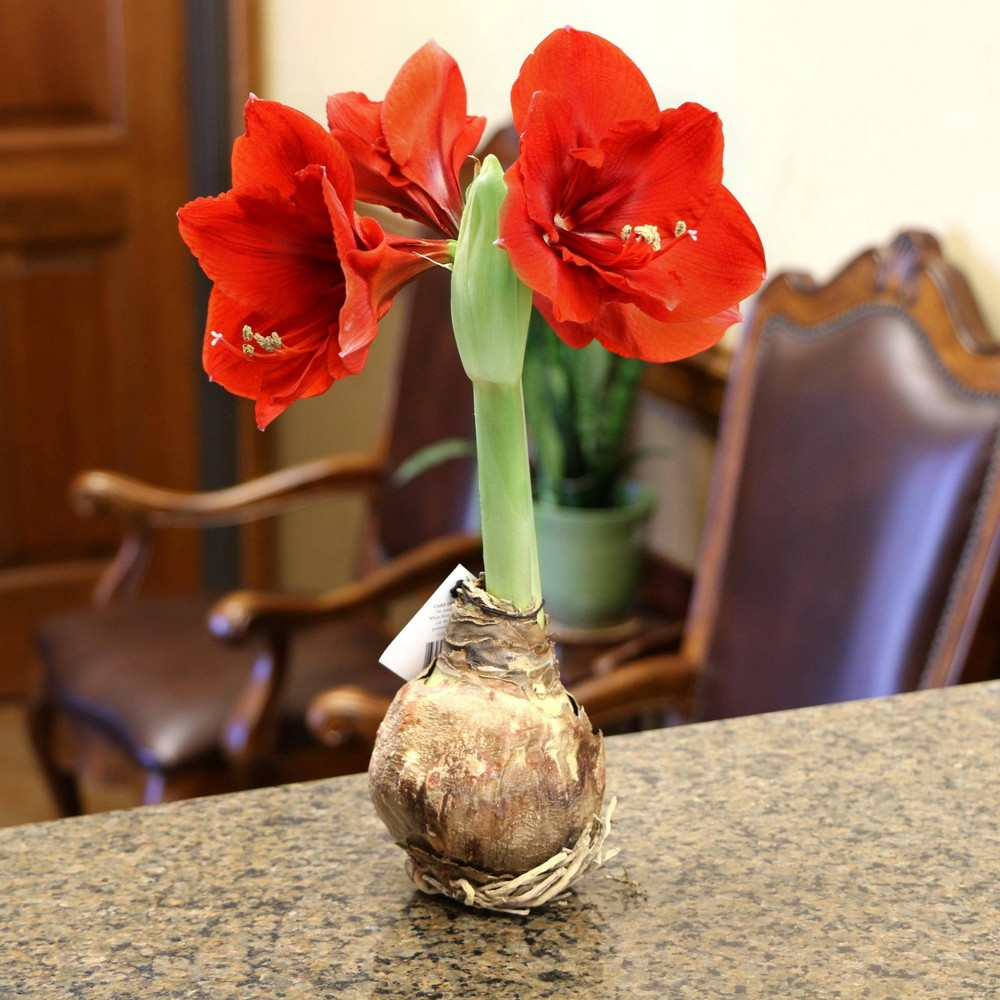 Image of 4pc Giant Amaryllis Bulbs - Cottage Hill Nursery