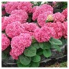 Hydrangea 'Mini Penny' 1pc - Cottage Hill U.S.D.A Hardiness Zone 5-9 - image 3 of 3