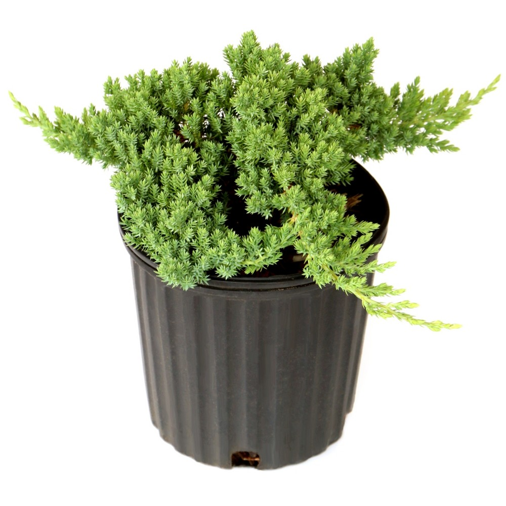 Juniper 'Procumbens Nana' 2.5qt U.S.D.A. Hardiness Zones 4-9 - 1pc - Cottage Hill