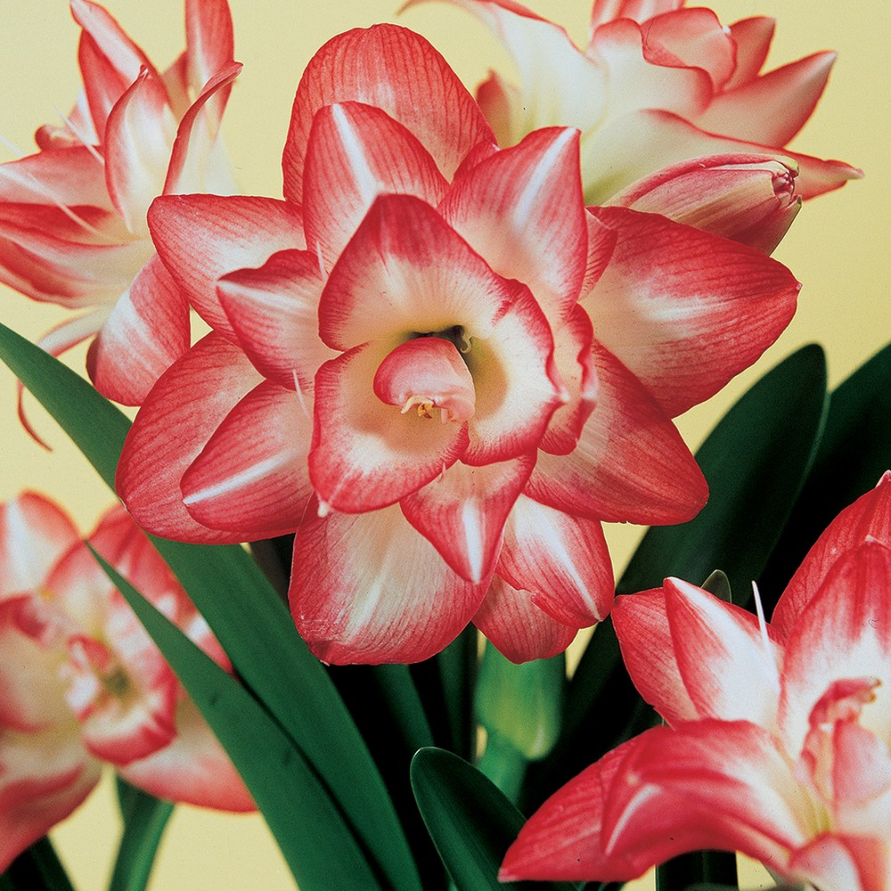 Image of Amaryllis Blossom Peacock Set of 1 Bulb - Red/Pink/White - Van Zyverden